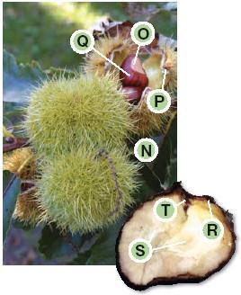 castagno scheda botanica2