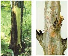 taglio di secchi o malati delle piante di castagno